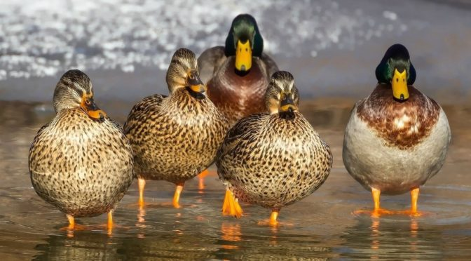 How to Manage Your Writing (Get Your Ducks in a Row)